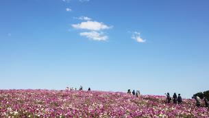 国営ひたち海浜公園「みはらしの丘」に咲く満開のコスモスの写真素材 [FYI04839316]