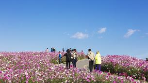 国営ひたち海浜公園「みはらしの丘」に咲く満開のコスモスの写真素材 [FYI04839321]