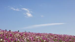 国営ひたち海浜公園「みはらしの丘」に咲く満開のコスモスの写真素材 [FYI04839374]