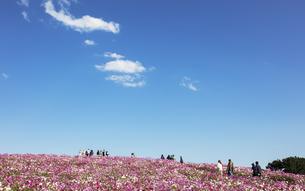 国営ひたち海浜公園「みはらしの丘」に咲く満開のコスモスの写真素材 [FYI04839376]