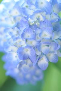 紫陽花エンドレスサマーの写真素材 [FYI04839388]