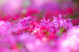 芝桜のカーペットの写真素材 [FYI04839398]