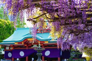 日枝神社の藤の花の写真素材 [FYI04839418]