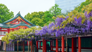 日枝神社の藤の花の写真素材 [FYI04839421]