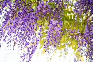 藤の花の写真素材 [FYI04839422]