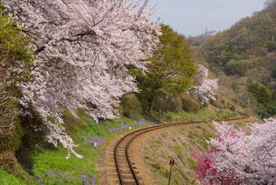 大間々駅付近より 満開の桜とカーブするローカル線の谷間の線路の写真素材 [FYI04839740]