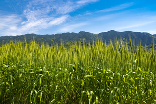 耳納連山を背景に小麦畑の写真素材 [FYI04839742]