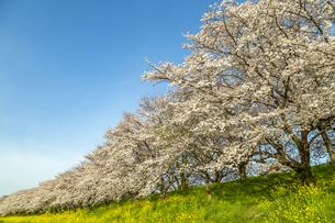 青空を背景にした満開の桜並木と菜の花畑。春イメージの写真素材 [FYI04839859]