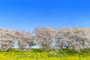 青空を背景にした満開の桜並木と菜の花畑。春イメージの写真素材 [FYI04839862]