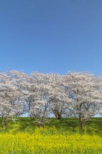 青空を背景にした満開の桜並木と菜の花畑。春イメージの写真素材 [FYI04839863]