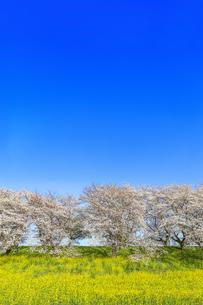 青空を背景にした満開の桜並木と菜の花畑。春イメージの写真素材 [FYI04839864]
