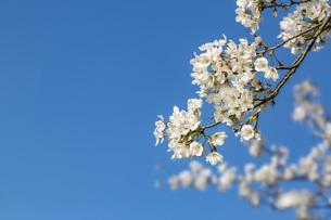 青空を背景に、コピースペースのある満開の桜の花のクローズアップの写真素材 [FYI04839865]