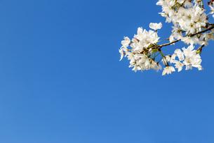 青空を背景に、コピースペースのある満開の桜の花のクローズアップの写真素材 [FYI04839866]