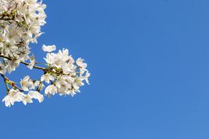 青空を背景に、コピースペースのある満開の桜の花のクローズアップの写真素材 [FYI04839867]
