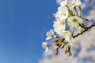 青空を背景に、コピースペースのある満開の桜の花のクローズアップの写真素材 [FYI04839868]