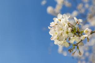 青空を背景に、コピースペースのある満開の桜の花のクローズアップの写真素材 [FYI04839869]