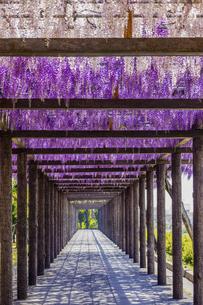 春の藤棚の写真素材 [FYI04839898]