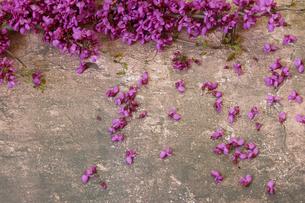 大理石模様背景の花蘇芳の花の写真素材 [FYI04839899]