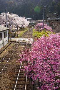 わたらせ渓谷鉄道水沼駅満開の桜並木と線路の写真素材 [FYI04839924]