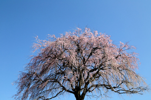 枝垂れ桜の写真素材 [FYI04840431]