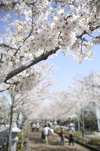 鎌倉の若宮大路の桜の写真素材 [FYI04840448]