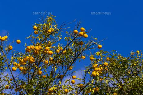 よく熟した柚子の実の写真素材 [FYI04840459]