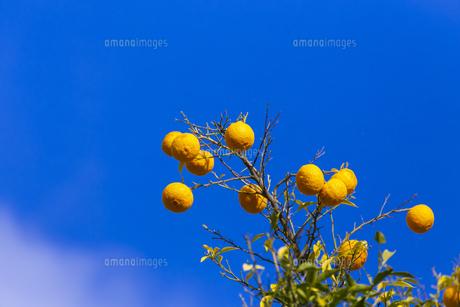 よく熟した柚子の実の写真素材 [FYI04840462]