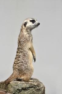 市川動植物園のミーアキャットの写真素材 [FYI04840610]