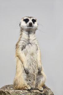 市川動植物園のミーアキャットの写真素材 [FYI04840611]