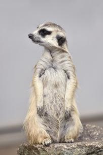 市川動植物園のミーアキャットの写真素材 [FYI04840612]