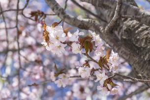 桜、開花 ~小樽市・メルヘン交差点~の写真素材 [FYI04840757]