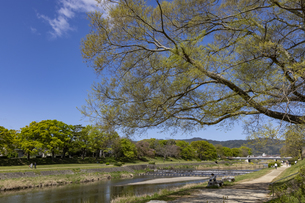 賀茂川と新緑の写真素材 [FYI04840815]