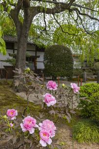本満寺 牡丹の写真素材 [FYI04840818]