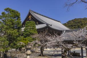 知恩院 御影堂と桜の写真素材 [FYI04840845]
