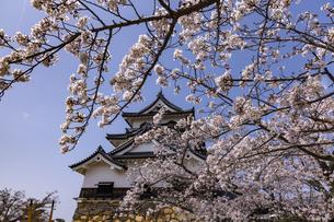 彦根城 桜の写真素材 [FYI04840880]