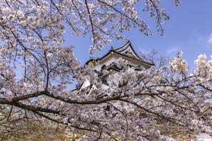 彦根城 桜の写真素材 [FYI04840883]
