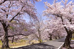 賀茂川左岸の桜並木の写真素材 [FYI04840886]