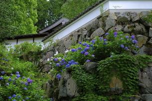 京都観音寺の紫陽花の写真素材 [FYI04840931]