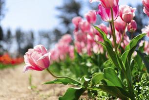 鮮やかに咲くたくさんのチューリップの写真素材 [FYI04840941]