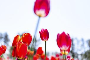 鮮やかに咲くたくさんのチューリップの写真素材 [FYI04840942]