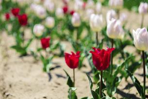 鮮やかに咲くたくさんのチューリップの写真素材 [FYI04840943]