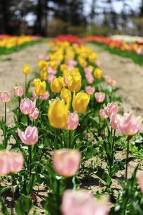 鮮やかに咲くたくさんのチューリップの写真素材 [FYI04840944]