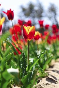 鮮やかに咲くたくさんのチューリップの写真素材 [FYI04840945]