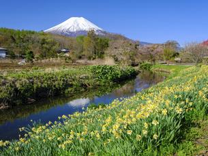 山梨県 忍野村に咲くスイセンと富士山の写真素材 [FYI04840952]