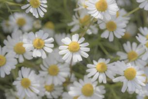 カモミールの花畑の写真素材 [FYI04841307]