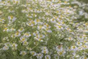 カモミールの花畑の写真素材 [FYI04841308]
