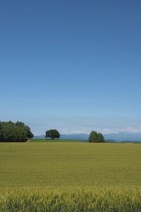夏の緑のムギ畑と青空の写真素材 [FYI04841331]