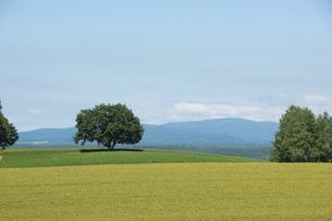 緑のむぎ畑に立つ木立の写真素材 [FYI04841332]