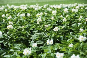 白い花が満開の夏のジャガイモ畑の写真素材 [FYI04841347]