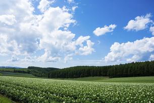 ジャガイモ畑の上に広がる青空の写真素材 [FYI04841348]